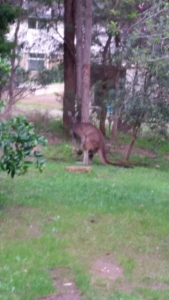 Kangaroo in our back garden